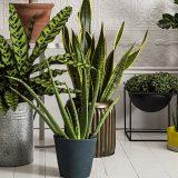 Вісім невибагливих кімнатних рослин для дому та офісу